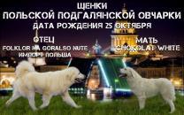 щенки польской подгалянской овчарки.