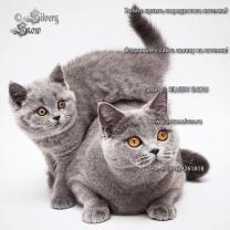 Голубые плюшевые британские котята