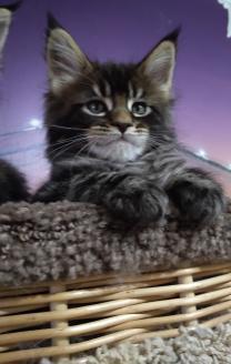 Породные котята Мейн-кун