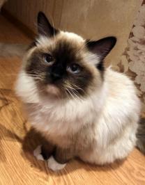 Котята красивой редкой породы Рэгдолл