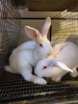 Кролики породы Белый великан