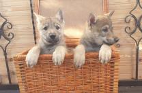 Чехословацкая волчья собака, щенки