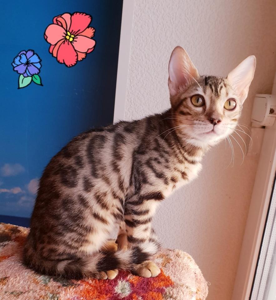 Бенгальские котята и котята породы Саванна   фото 1 из 6