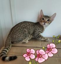 Бенгальские котята и котята породы Саванна   фото 3 из 6