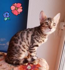 Бенгальские котята и котята породы Саванна
