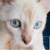 Бенгальские котята и котята породы Саванна   фото 4 из 6