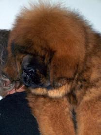 Щенки Тибетского мастифа из питомника | фото 5 из 6
