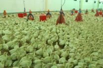 Продам птенцов индейки | фото 2 из 2