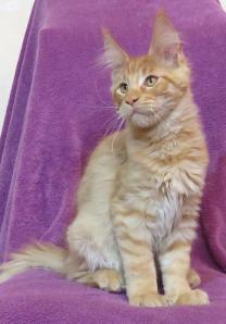 Котята Мейн-кун с полным пакетом документов | фото 5 из 6