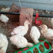 индюшата Хайбрид, куры китайские черные, мараны, инкубационное яйцо | фото 5 из 6