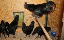 индюшата Хайбрид, куры китайские черные, мараны, инкубационное яйцо | фото 6 из 6