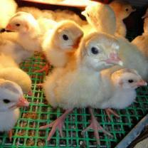 индюшата Хайбрид, куры китайские черные, мараны, инкубационное яйцо | фото 3 из 6