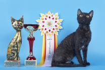 неаллергенные кошки купить котёнка