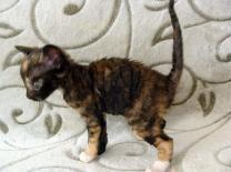 неаллергенные кошки купить котёнка | фото 3 из 3