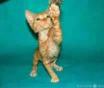 неаллергенные кошки купить котёнка | фото 2 из 3