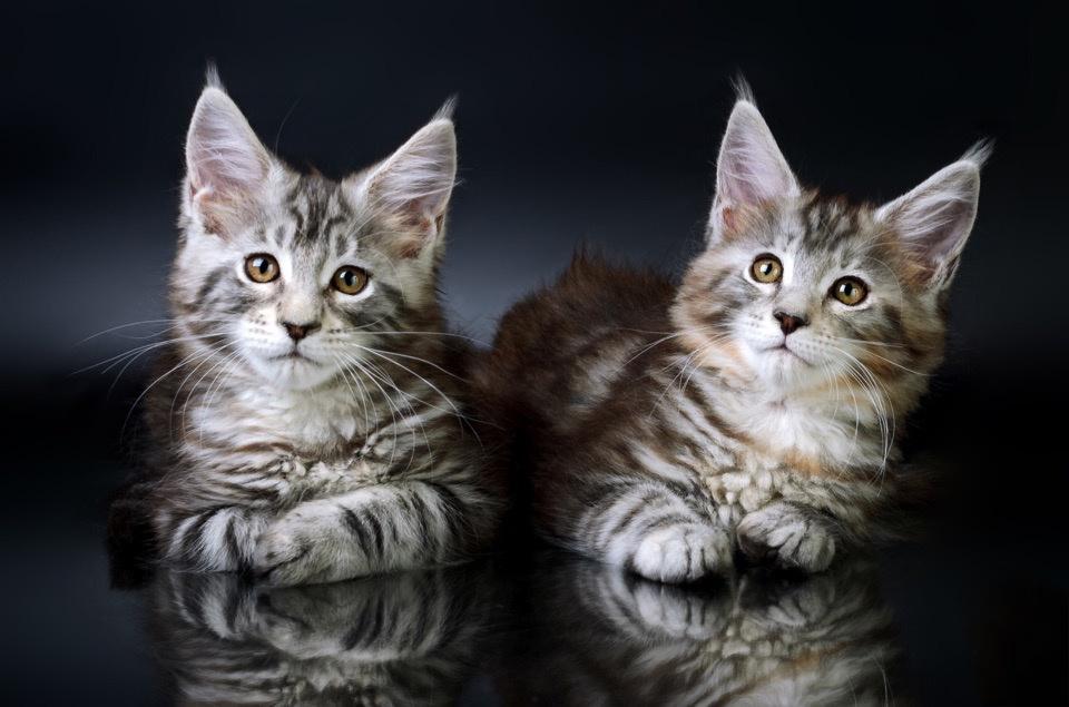 Котята Мейн-кун с хорошей родословной | фото 1 из 6