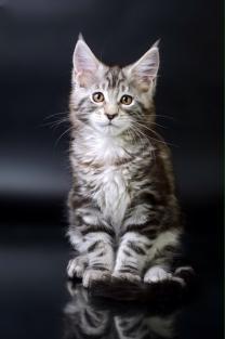 Котята Мейн-кун с хорошей родословной | фото 2 из 6