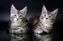 Котята Мейн-кун с хорошей родословной