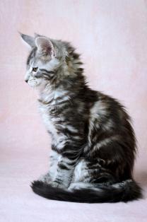 Котята Мейн-кун с хорошей родословной | фото 4 из 6