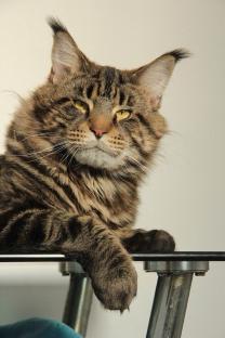 Котята Мейн-кун с хорошей родословной | фото 5 из 6