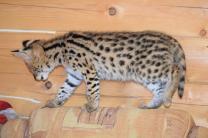 Котята Сервала | фото 4 из 6
