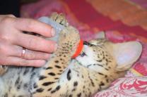 Котята Сервала | фото 2 из 6