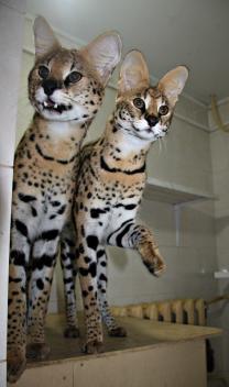 Котята Сервала | фото 5 из 6