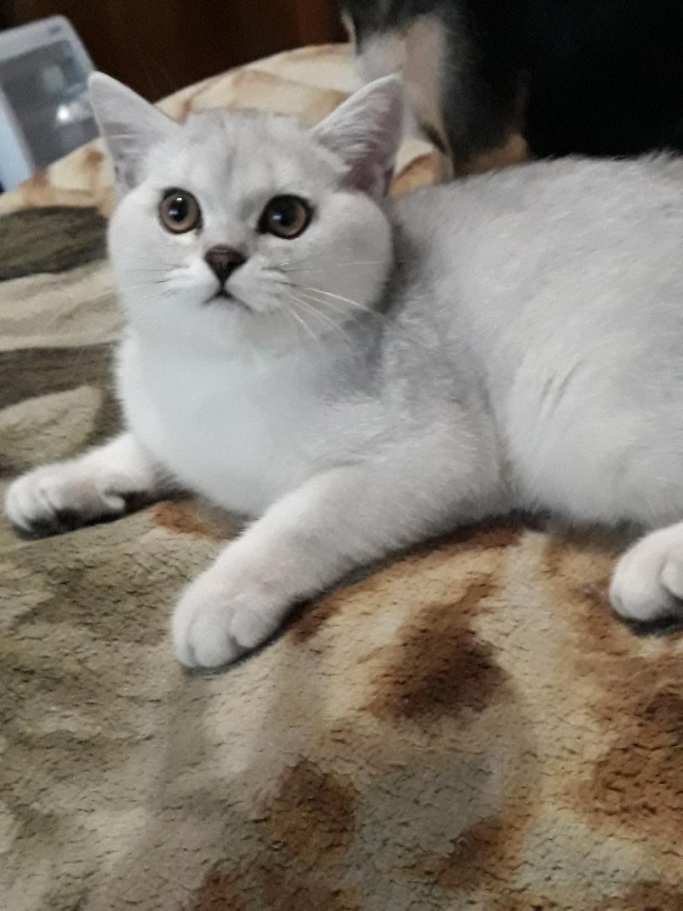 Кот британский шиншиловый  | фото 1 из 4