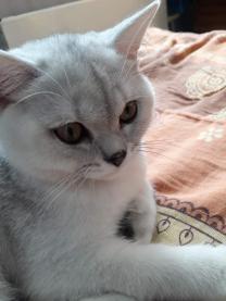 Кот британский шиншиловый  | фото 4 из 4