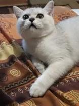 Кот британский шиншиловый  | фото 3 из 4