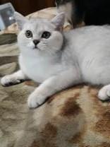 Кот британский шиншиловый