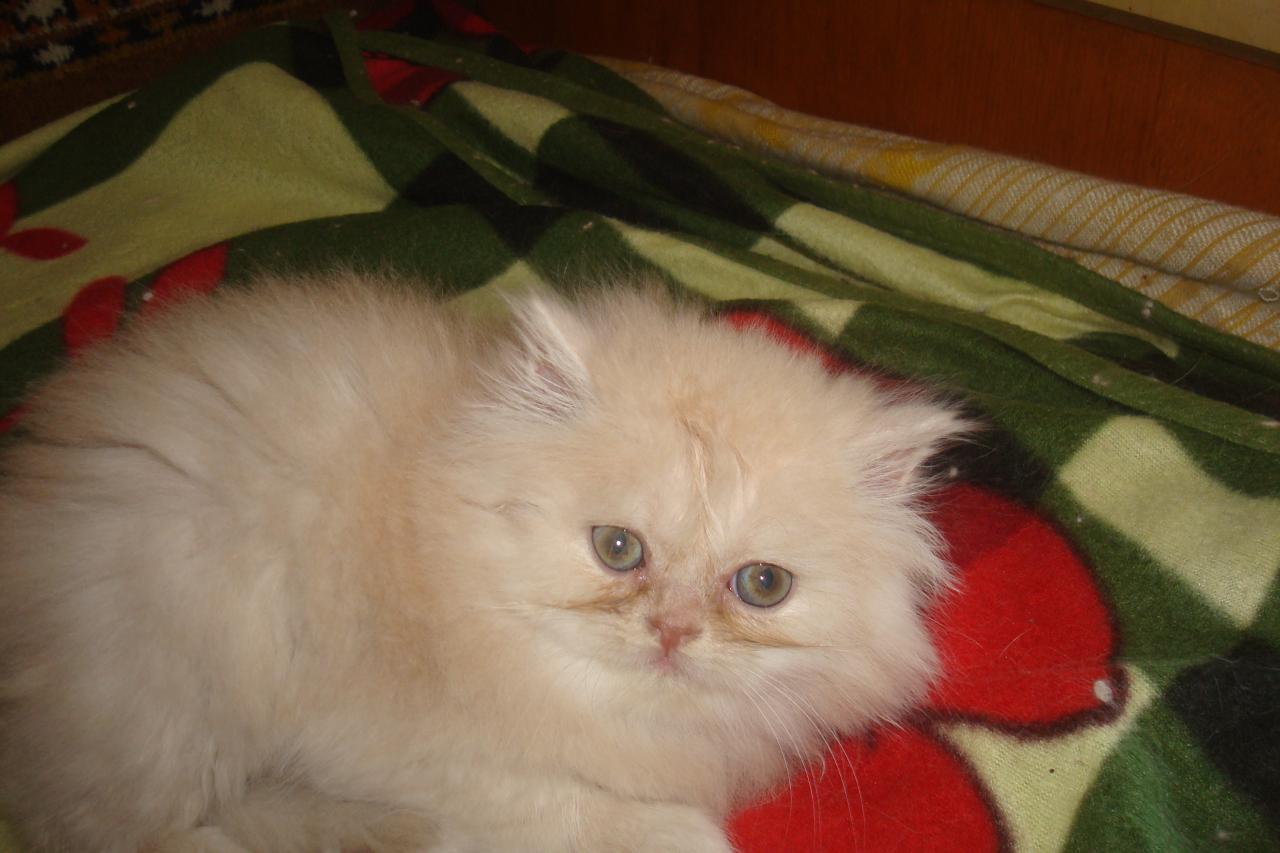 Персидские котята | фото 1 из 3