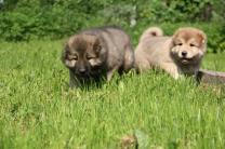 Породистые щенки Кавказской овчарки из питомника | фото 2 из 6