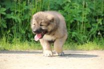 Породистые щенки Кавказской овчарки из питомника | фото 6 из 6