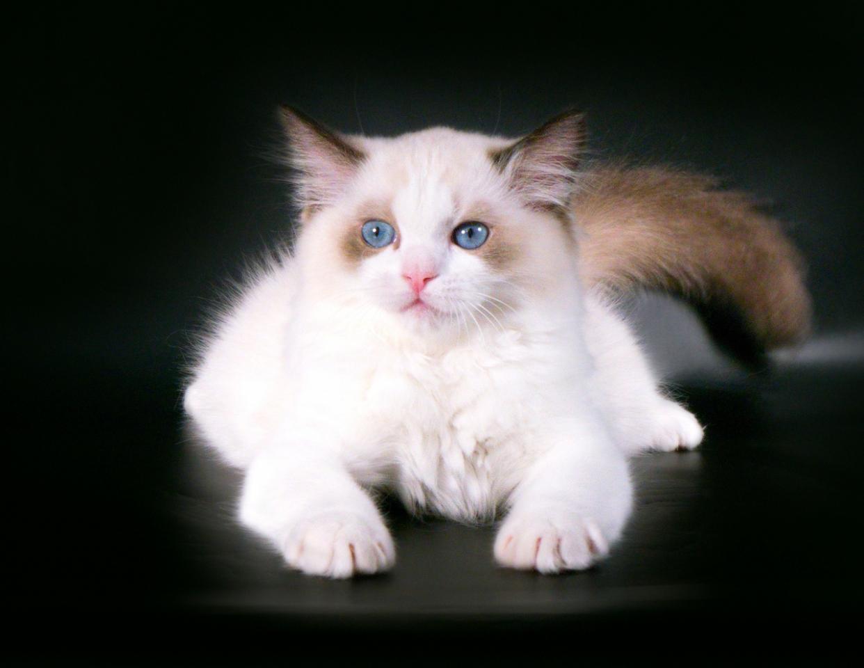 Породистые котята Рэгдолл от заводчика | фото 1 из 6