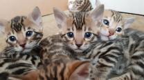 Котята Бенгальские от титулованных родителей