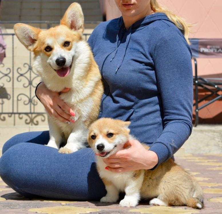 Высокопородный щенок Вельш Корги Пемброк | фото 1 из 6