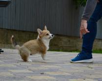 Высокопородный щенок Вельш Корги Пемброк | фото 6 из 6