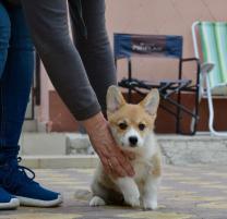Высокопородный щенок Вельш Корги Пемброк | фото 4 из 6