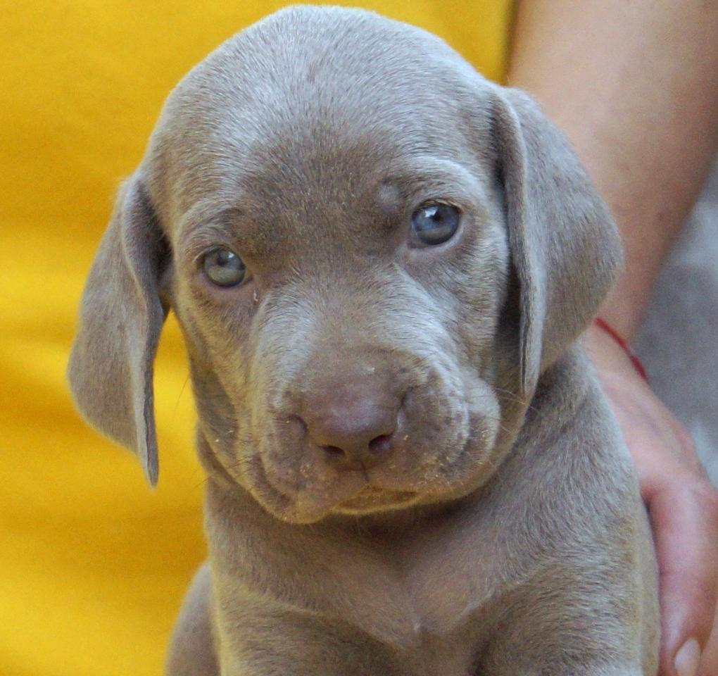 Веймаранер щенки родословная РКФ | фото 1 из 1