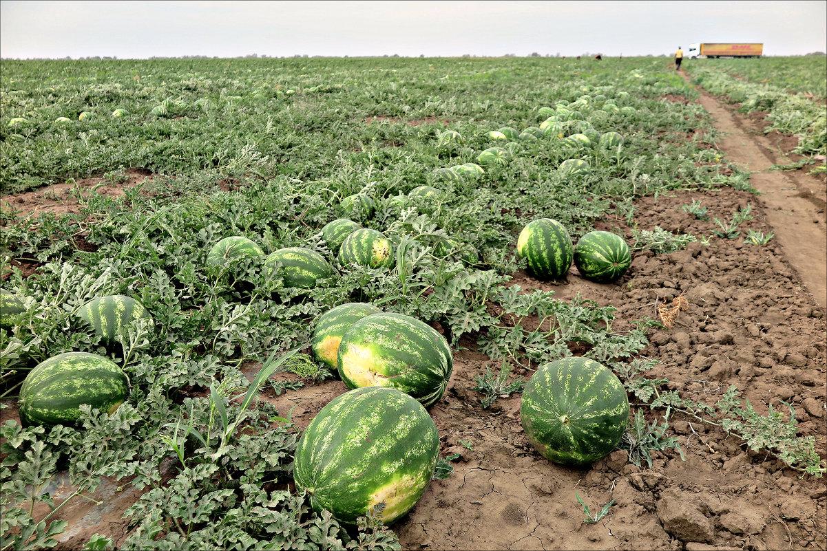 Продаем арбузы оптом Краснодарский край,арбузы оптом Краснодар | фото 1 из 1