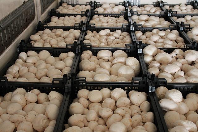 Продаем грибы оптом в Краснодаре. грибы оптом Краснодарский край | фото 1 из 1