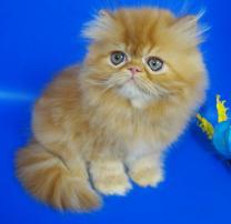 Персидский котенок окрас красный мрамор