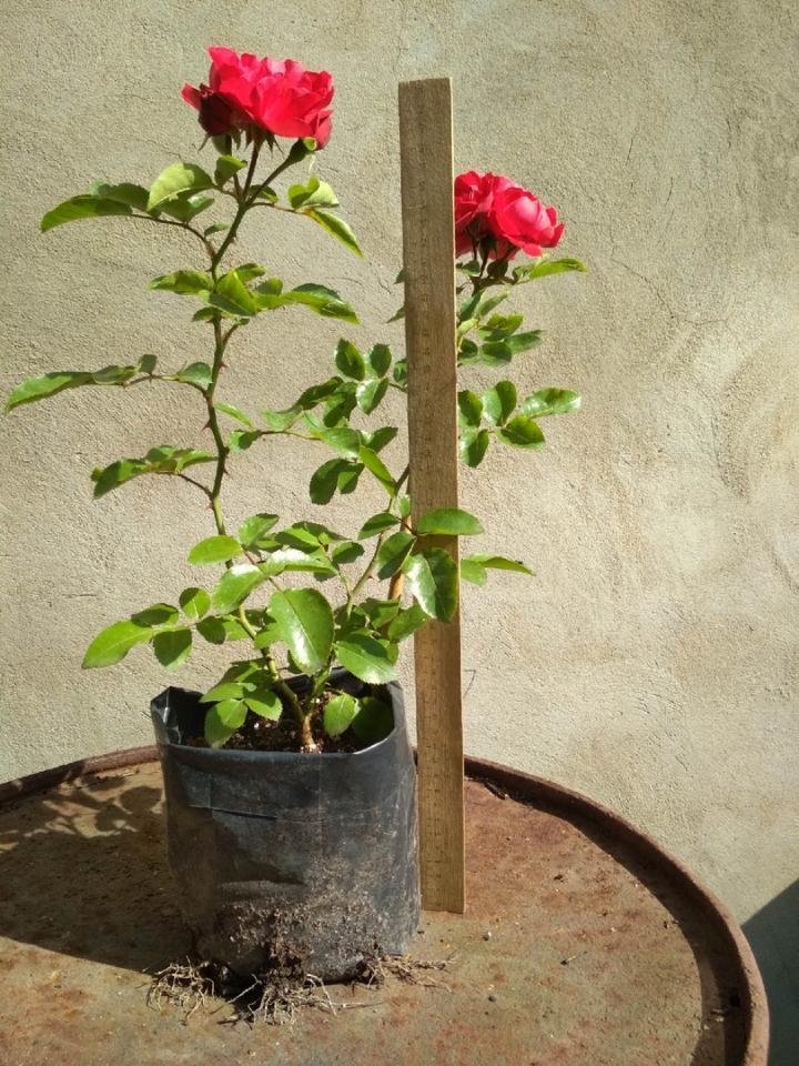 Саженцы ЗКС. Розы, гортензии, клематисы, малина и др. | фото 1 из 3