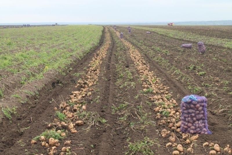 Картофель оптом в Краснодарском крае. молодой картофель оптом Краснодар | фото 1 из 1