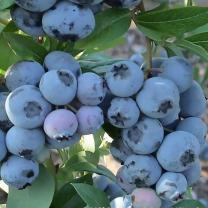 Голубика от питомника Элитный Сад