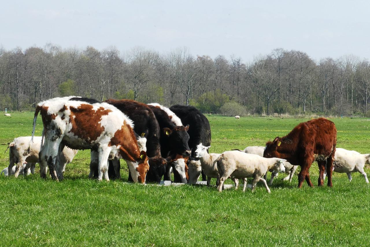 Коровы мясных пород живым весом на убой.   фото 1 из 1