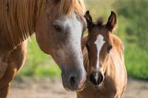 Лошади и жеребята от производителя.